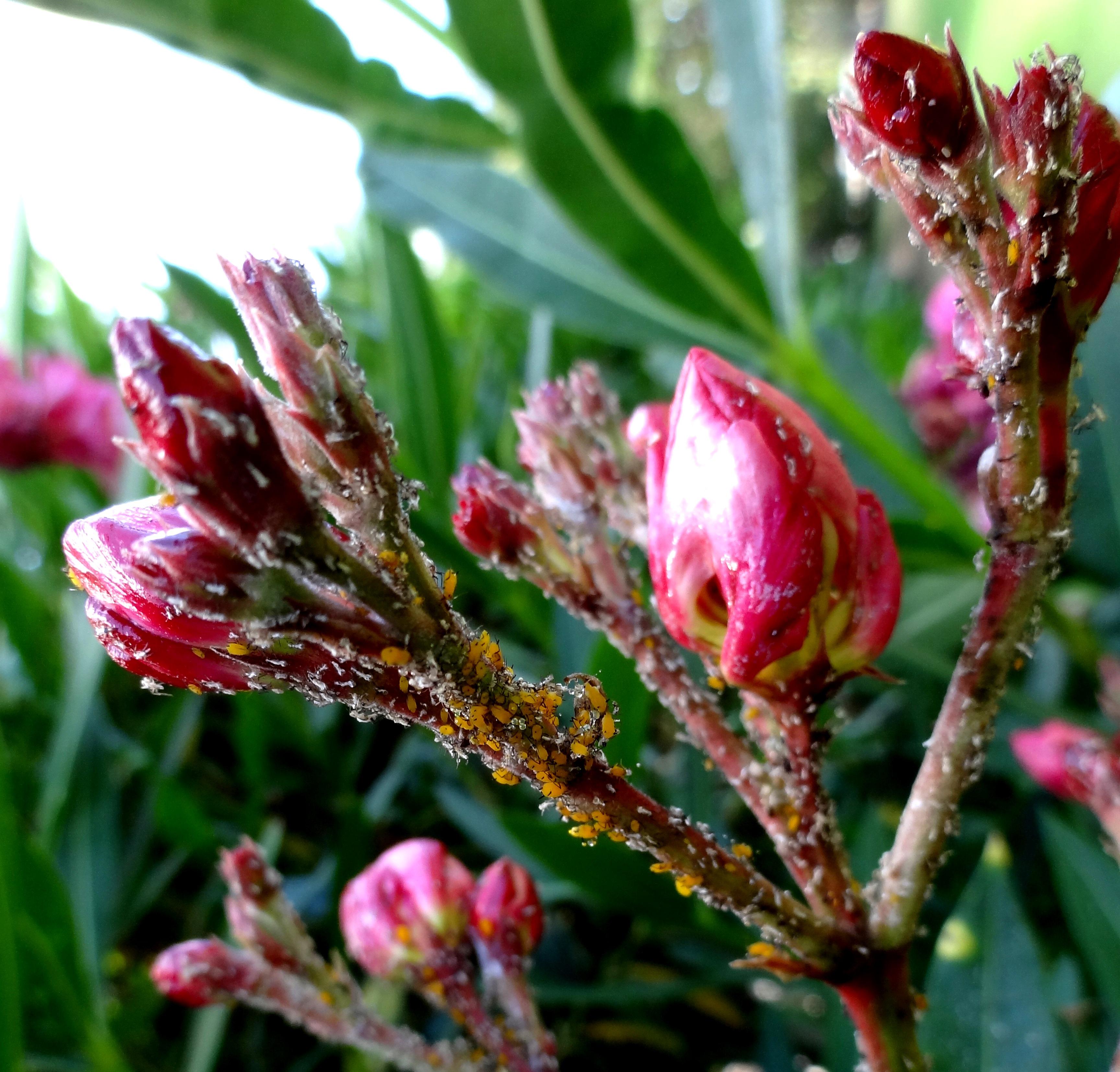 Oleander Standort Garten: Krebs, Spinnmilben Und Läuse Am Oleander