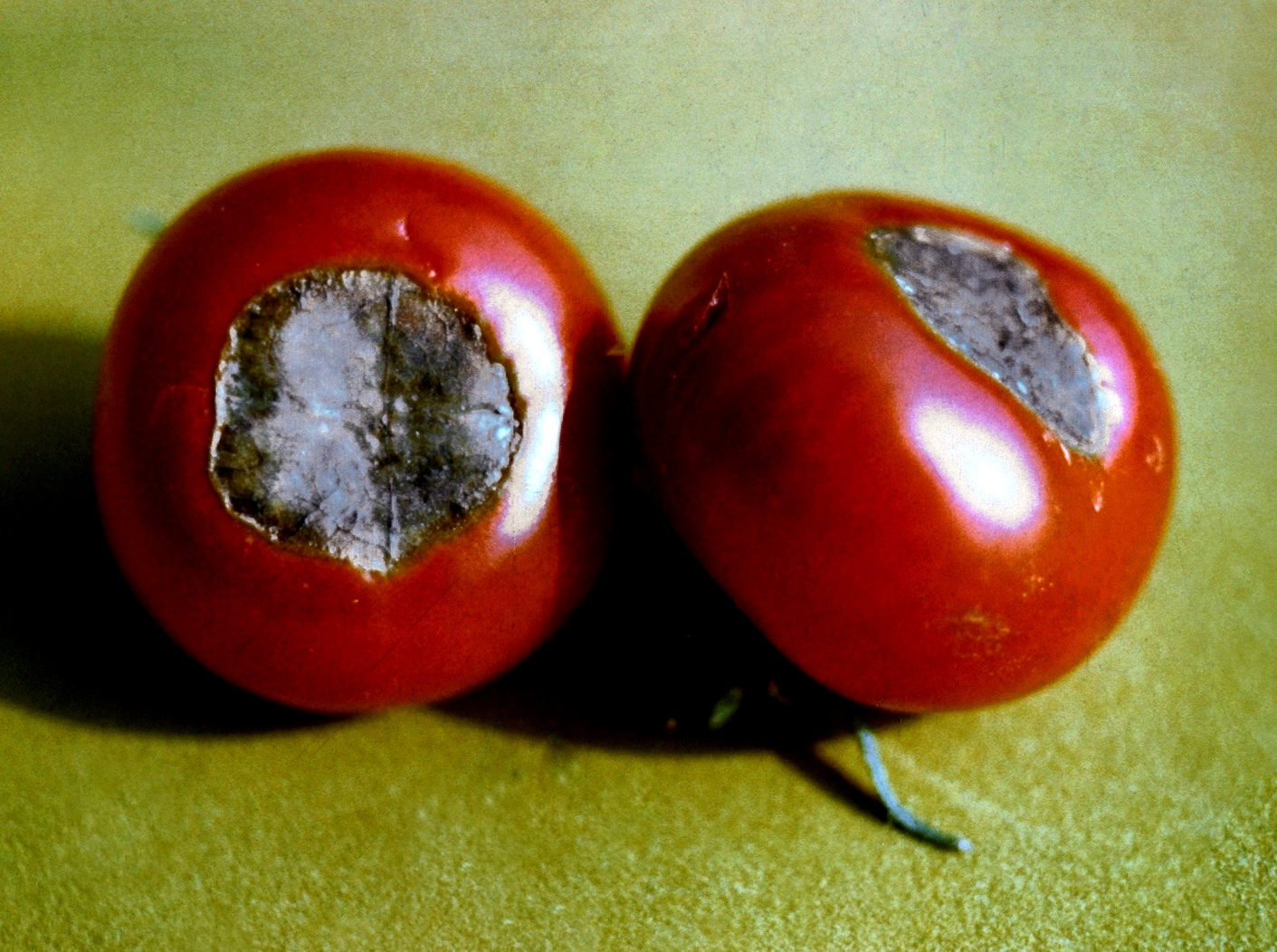 fruchtsch den an tomaten industrieverband agrar. Black Bedroom Furniture Sets. Home Design Ideas