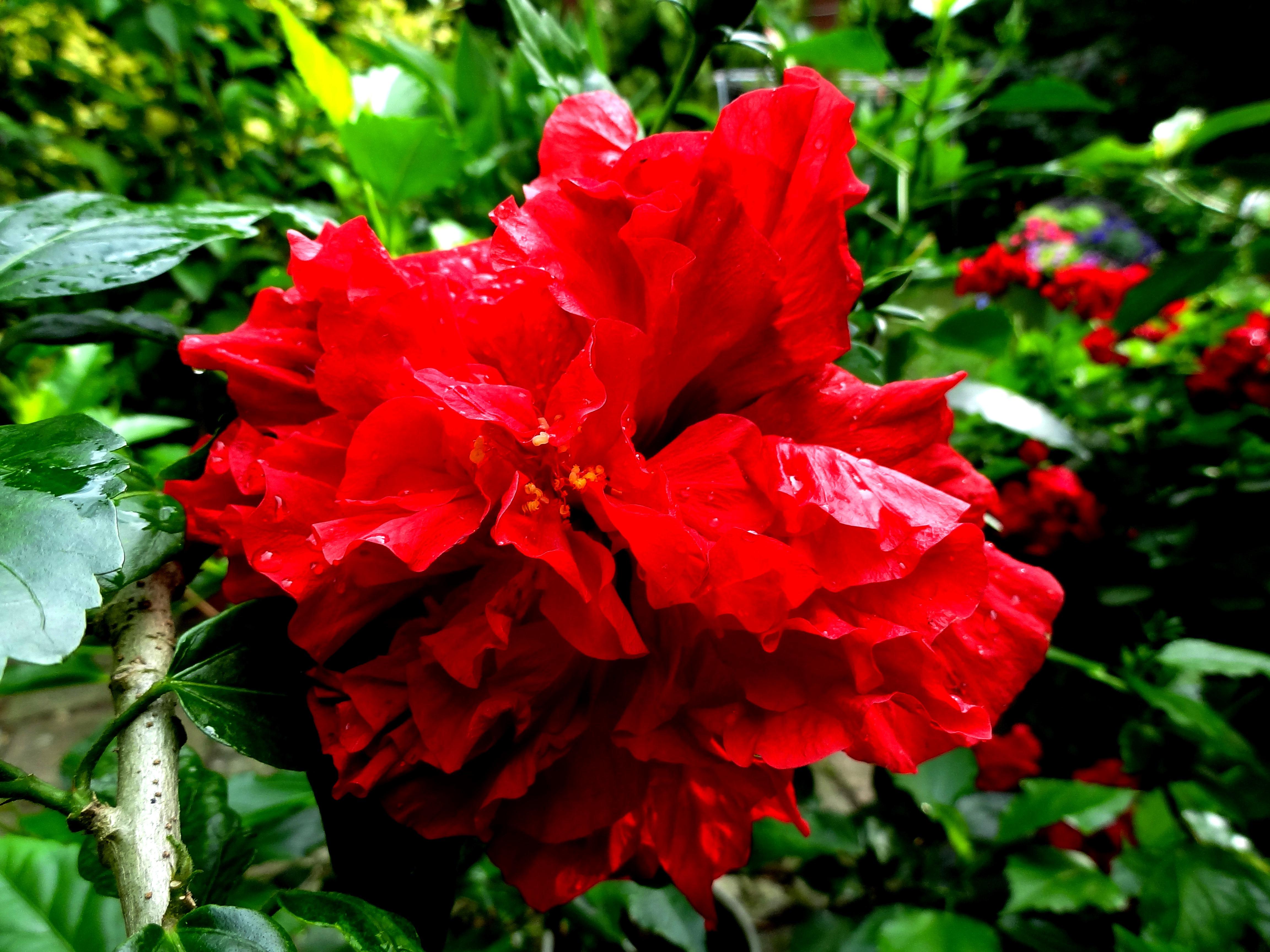 hibiskus chinesischer roseneibisch industrieverband agrar. Black Bedroom Furniture Sets. Home Design Ideas