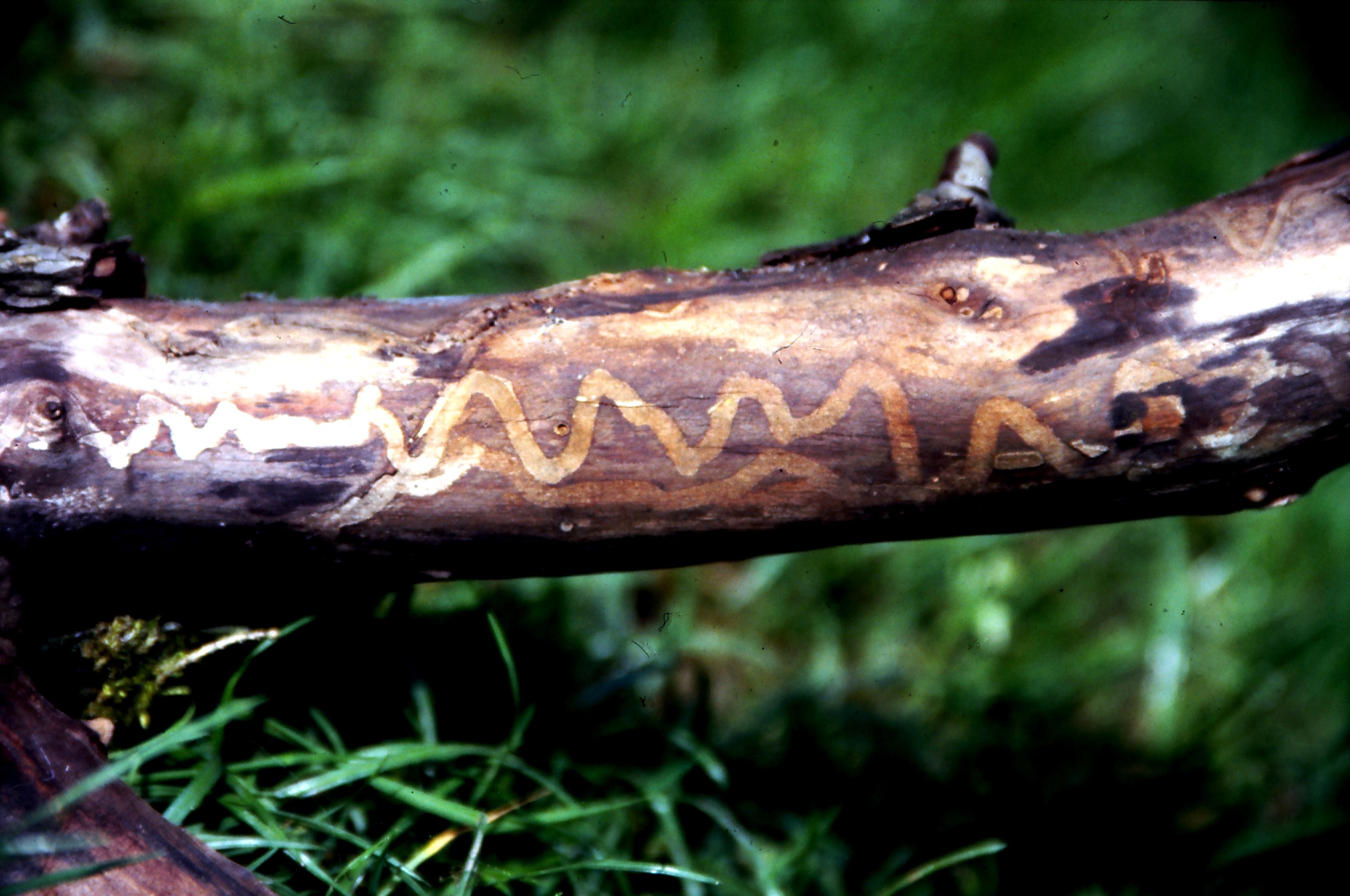 Ameisen am jungen kirschbaum