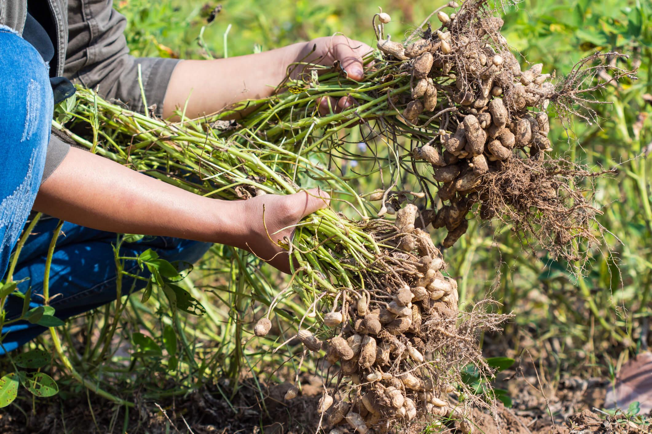 erdnüsse ernten