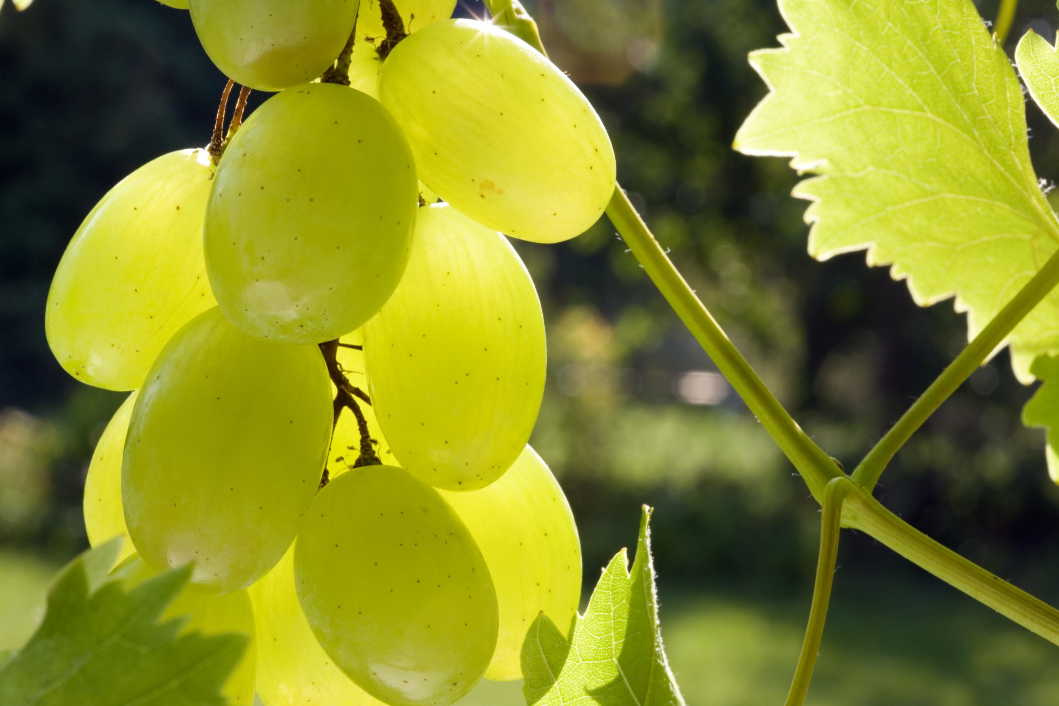 Trauben aus dem eigenen garten industrieverband agrar for Weintrauben im garten anbauen