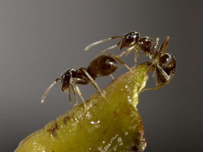 invasive ameisen machen mobil industrieverband agrar. Black Bedroom Furniture Sets. Home Design Ideas