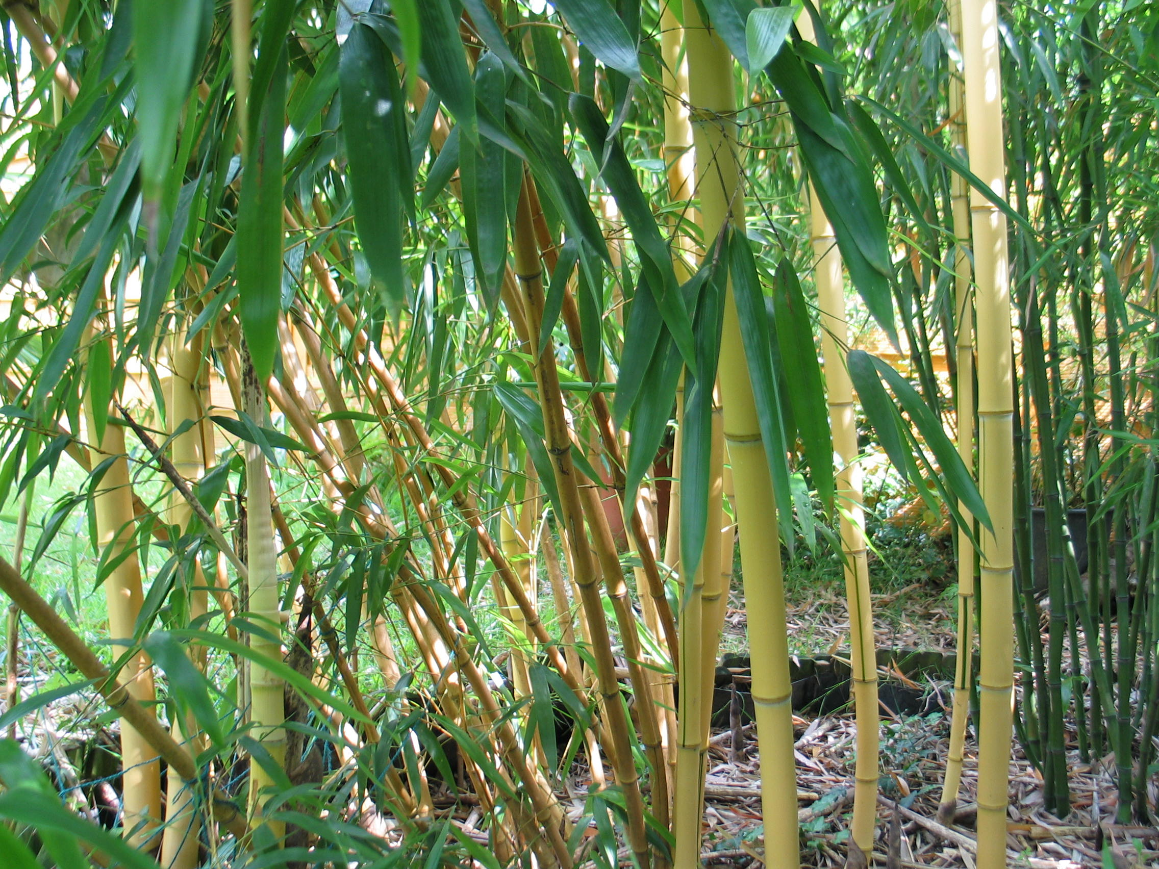 Bambusmilbe Auf Dem Vormarsch In Deutschen Garten Industrieverband