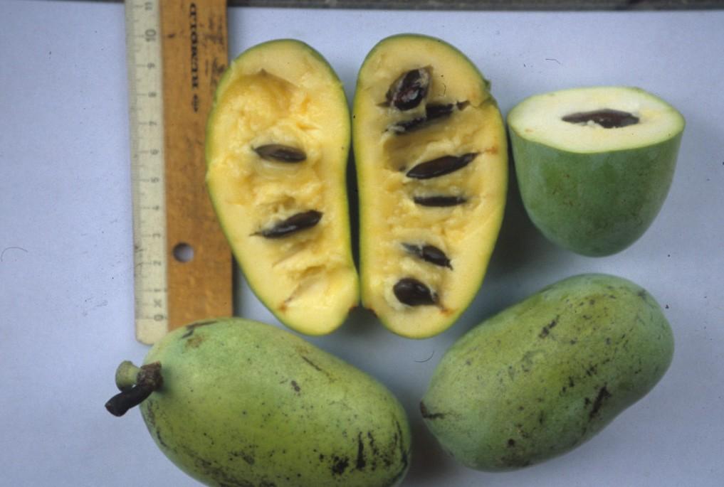 pawpaw oder papau exotische frucht mit potenzial. Black Bedroom Furniture Sets. Home Design Ideas