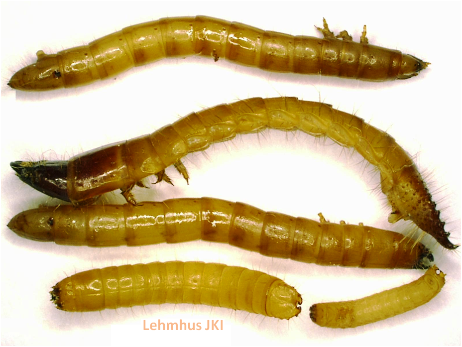 Mehlwürmer Bekämpfung drahtwürmer in kartoffeln sind schwer zu bekämpfen