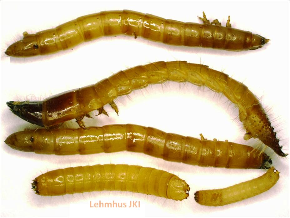 Drahtwürmer