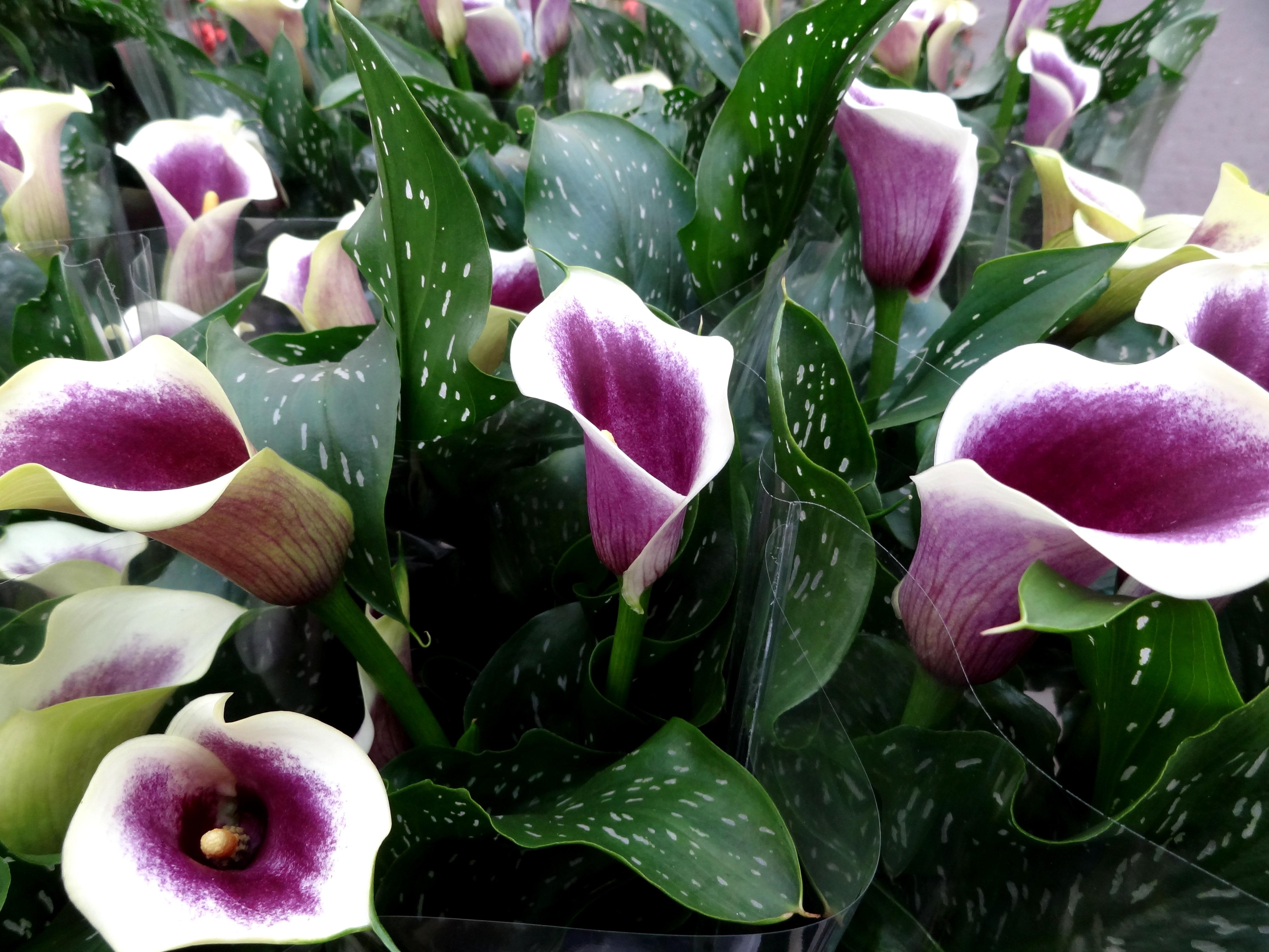 Wenn zimmerpflanzen durstig sind industrieverband agrar - Bluhende zimmerpflanzen bilder ...