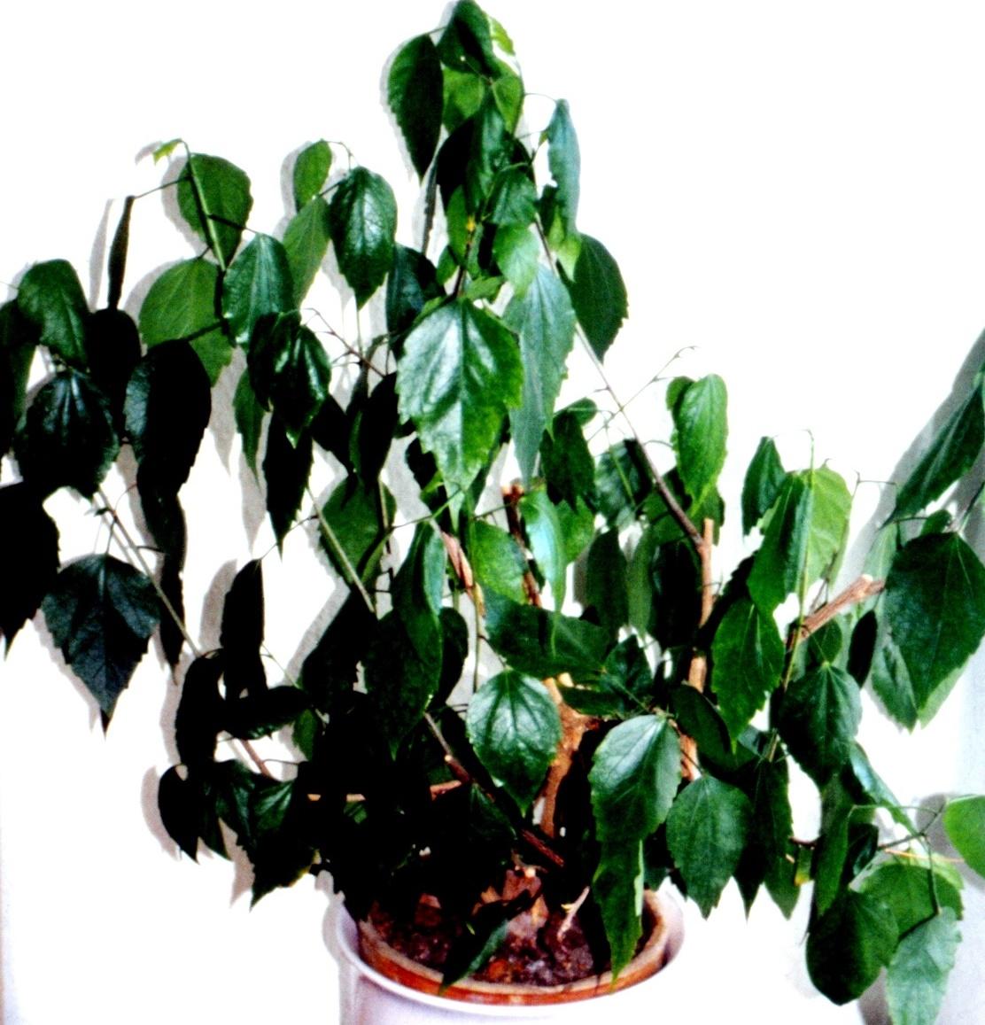 wenn zimmerpflanzen durstig sind industrieverband agrar. Black Bedroom Furniture Sets. Home Design Ideas