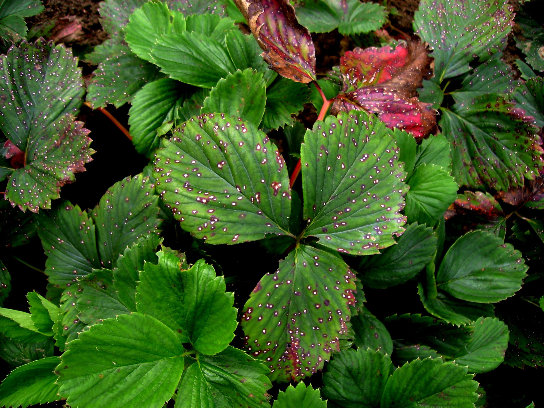 Berühmt Bei Erdbeeren für einen guten Start sorgen | Industrieverband Agrar &OF_78