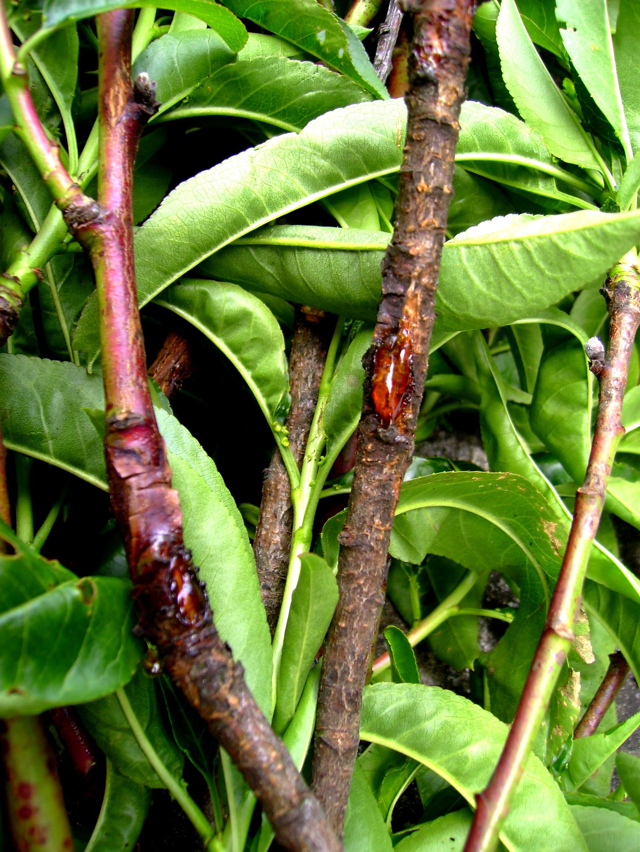 gummifluss bei prunus arten zum weinen industrieverband agrar. Black Bedroom Furniture Sets. Home Design Ideas