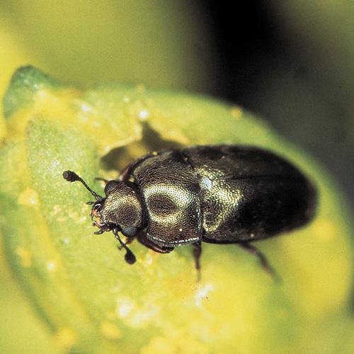 Insekten Fliegen Auf Gelb Industrieverband Agrar