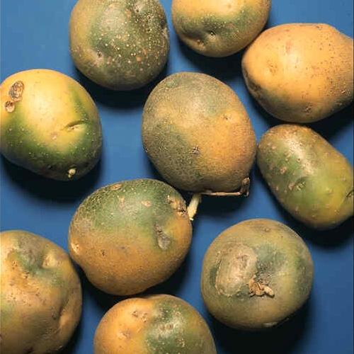 Geliebte Kartoffeln richtig lagern | Industrieverband Agrar @EH_65