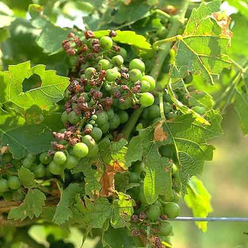 Mehltau Weintrauben