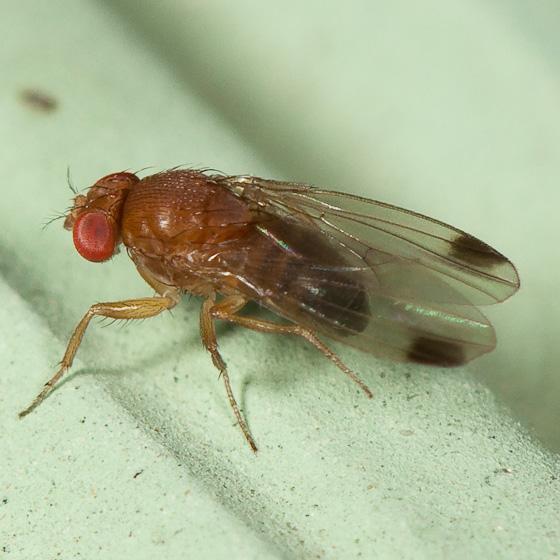 kirschessigfliege in der schweiz entdeckt kleine fliege. Black Bedroom Furniture Sets. Home Design Ideas