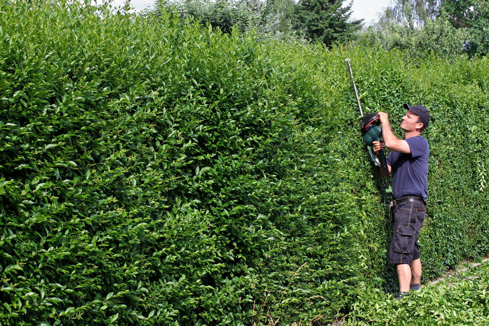 Kirschlorbeer Hecke Schneiden hecken sind mehr als nur ein grüner zaun industrieverband agrar