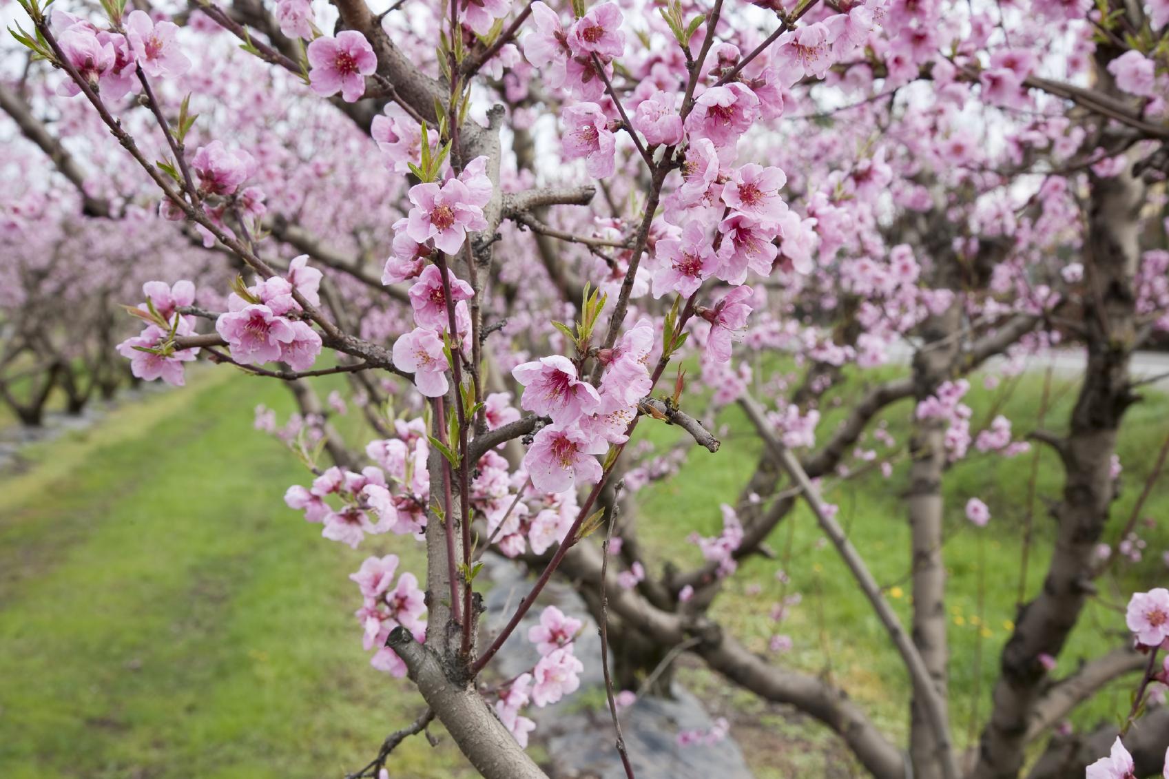 Kr uselkrankheit an pfirsichb umen industrieverband agrar - Pfirsichbaum im garten ...