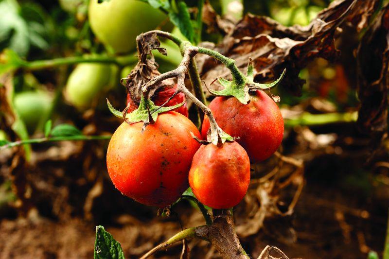 vier sterne pflege f r tomaten industrieverband agrar. Black Bedroom Furniture Sets. Home Design Ideas