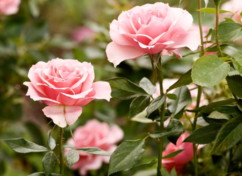 Rosenblätter rollen sich