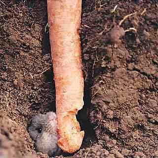 Mäuseplage 2004 – wie wird's 2005 ? | Industrieverband Agrar