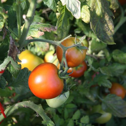 tomaten brauchen ein dach ber dem kopf industrieverband agrar. Black Bedroom Furniture Sets. Home Design Ideas