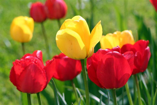 vorsicht vor tulpen feuer industrieverband agrar. Black Bedroom Furniture Sets. Home Design Ideas