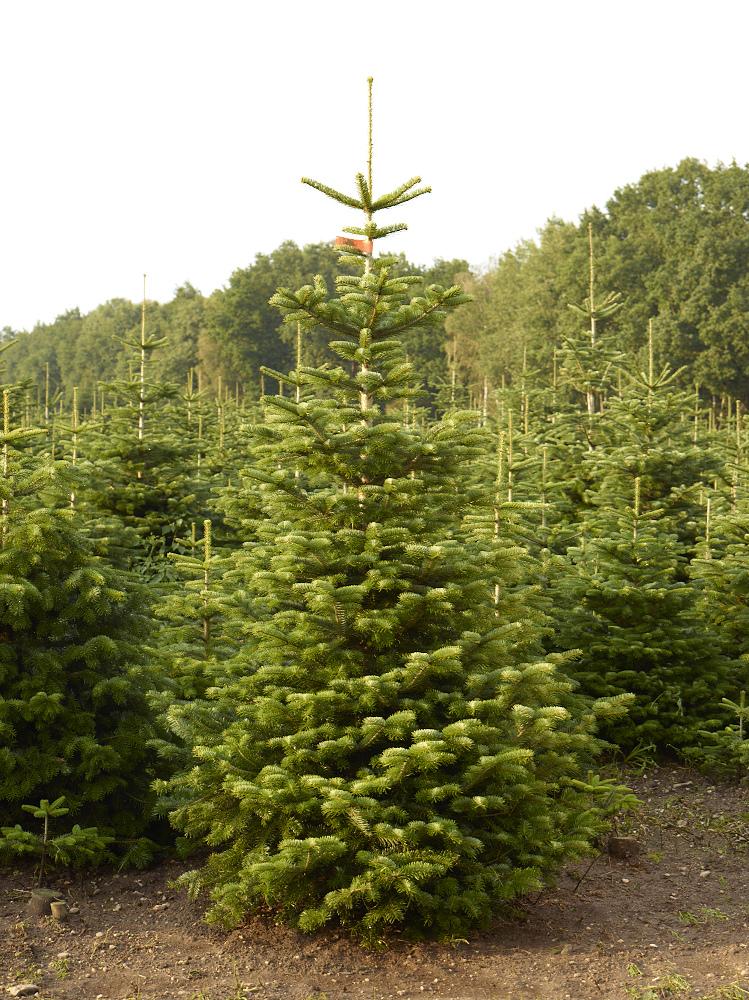 Weihnachtsbaum Tradition.Tradition Voll Im Trend Weihnachtsbäume Industrieverband Agrar