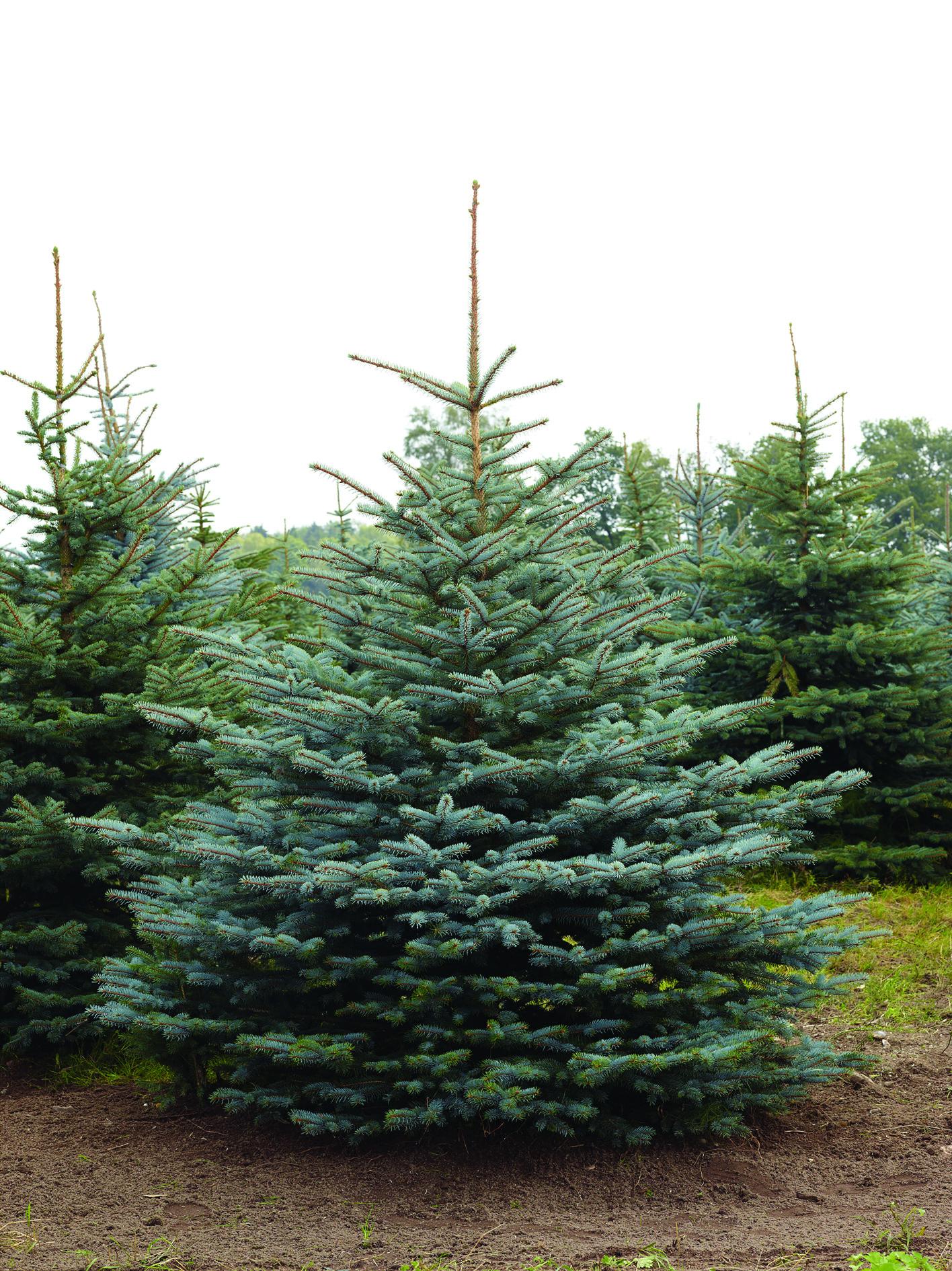 Weihnachtsbaum Nadeln.Tradition Voll Im Trend Weihnachtsbäume Industrieverband Agrar
