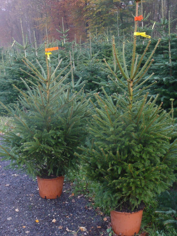 Tradition voll im Trend: Weihnachtsbäume | Industrieverband Agrar